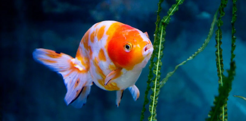 the great goldfish attention span myth and why it s killing