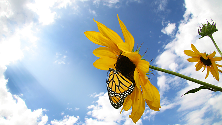 Monarch Butterfly After Leaving Cocoon
