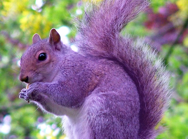 the-real-purple-squirrel