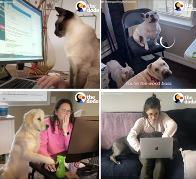 Four screenshots from video of pets interrupting people while they're trying to work from home